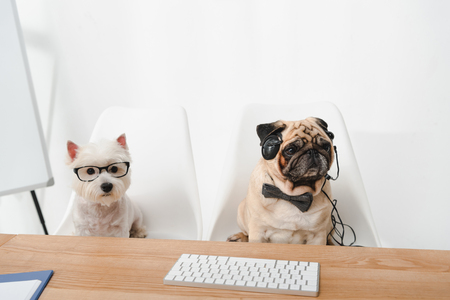 business dogs in eyeglasses and headset looking at camera while sitting at workplace