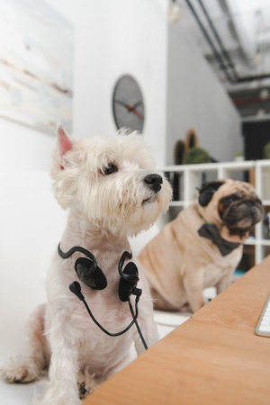 two funny business dogs with headphones sitting together at workplace Stock Photo
