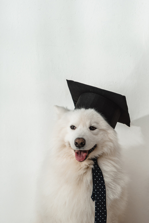 cute samoyed dog in square academic cap and necktie sitting on white Banque d'images - 104533142