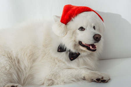 adorable furry samoyed dog in santa hat and bow tie looking away Stock Photo