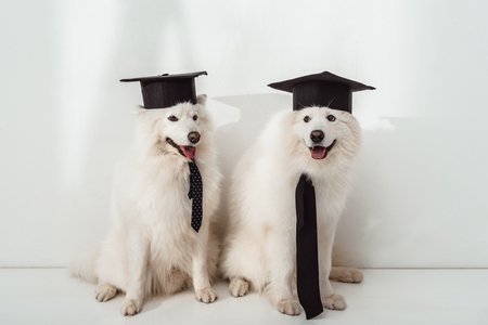 adorable samoyed dogs in graduation hats sitting together Banque d'images - 104533281