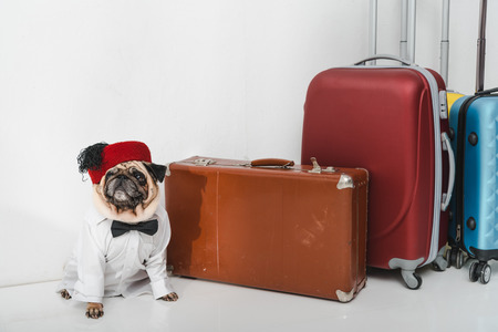 cute stylish pug in shirt and bow tie sitting with suitcases