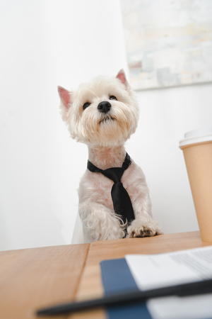 adorable west highland white terrier in necktie sitting at workplace