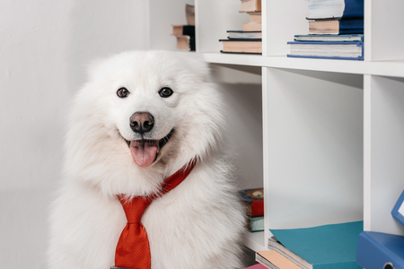 cute furry samoyed dog in necktie looking at camera while sitting near bookshelves