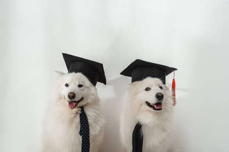 adorable samoyed dogs in graduation hats sitting together on white Banque d'images - 104533368