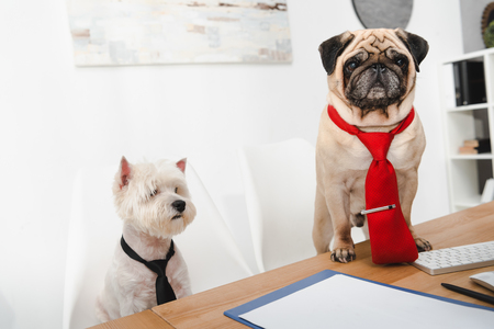 two business dogs in neckties working together in office