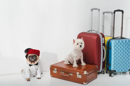 two adorable dogs sitting with suitcases on white Reklamní fotografie