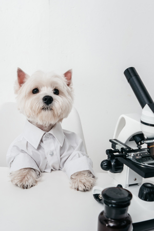 adorable west highland white terrier working with microscope in lab