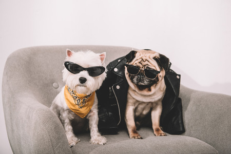 fashionable dogs in sunglasses and leather jacket sitting together on armchair Stock Photo