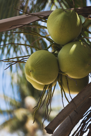 branch of fresh coconuts growing on palm tree