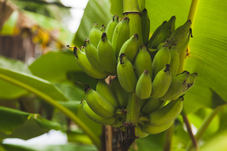 branch of fresh bananas growing on tree 스톡 콘텐츠