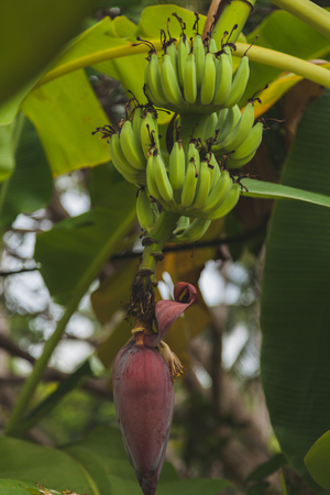 branch of green bananas growing on tree