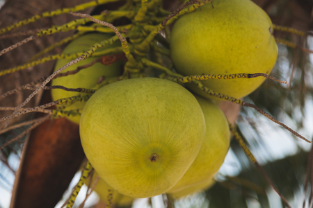 close-up shot of branch of green coconuts growing on palm tree Stock Photo