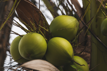 branch of fresh green coconuts growing on palm tree