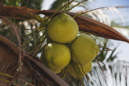 branch of delicious coconuts growing on palm tree Stock Photo