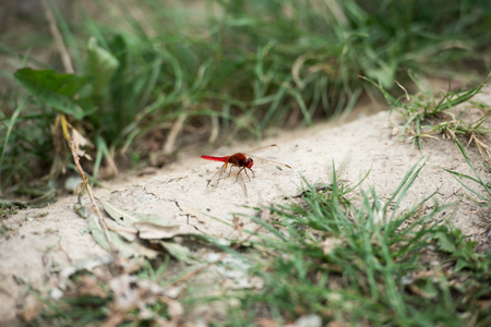 selective focus of red dragonfly on ground near grass Stock fotó