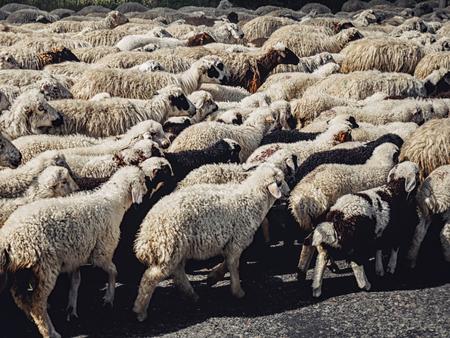herd of black and white sheep walking on road, Armenia Banco de Imagens