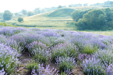 beautiful purple lavender field with hills on background