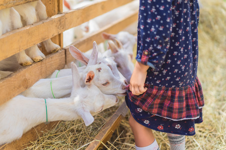 cropped image of small goats biting kids dress at farm