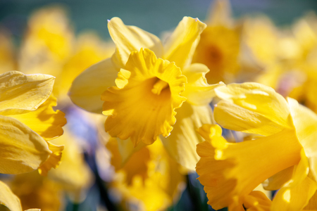 close up view of beautiful yellow daffodil flowers