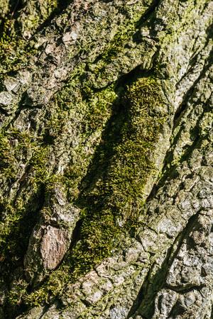 vertical background of tree bark with moss Zdjęcie Seryjne