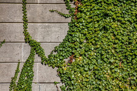 close up view of green ivy foliage on grey building wall