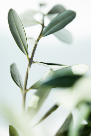close up shot of leaves of olive branch on blurred background