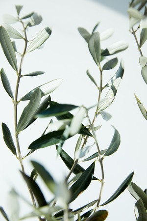 close up view of leaves of olive branches in front of white wall