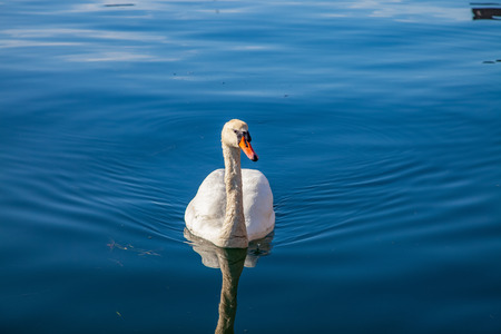 tranquil scene with beautiful white swan floating on calm water Stock Photo
