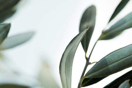 Nahaufnahme der Blätter des Olivenzweigs auf unscharfem Hintergrund