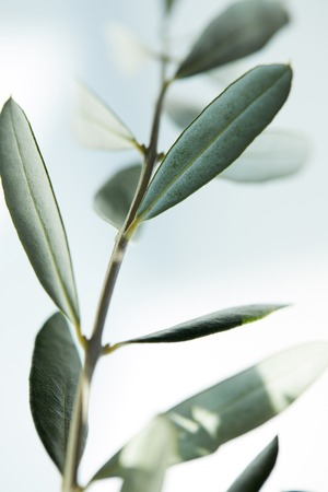 closeup image of leaves of olive branch on blurred background