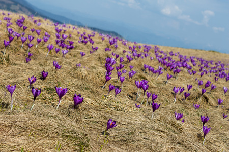 meadow with dry grass and spring crocuses in romanian highland