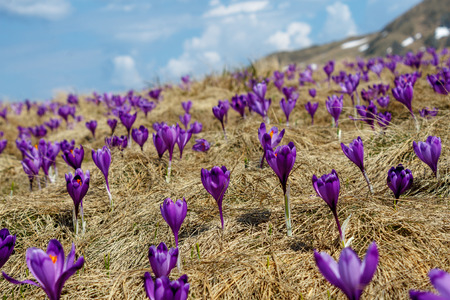 closeup shot of spring crocuses and dry grass on meadow with cloudy blue in Romania