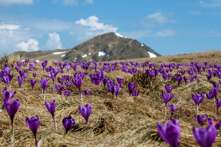 close up view of spring crocuses in dry grass with mountain covered by snow in Romania