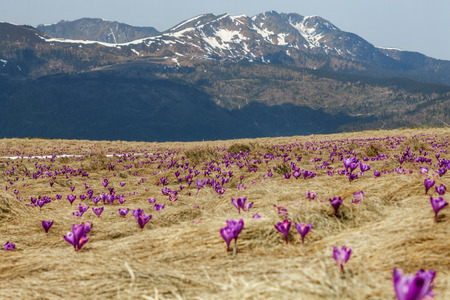 close up shot of purple flowers on meadow and mountains covered by snow in Romania 写真素材