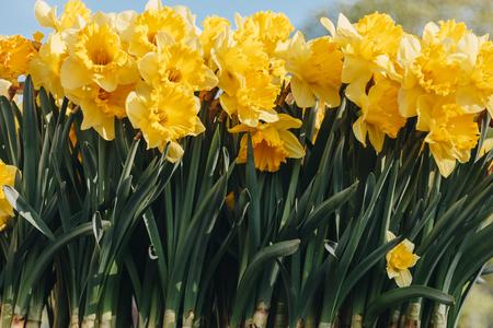 close-up shot of beautiful yellow Narcissus flowers Stock Photo