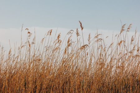 beautiful dry reeds on wind and blue sky with clouds