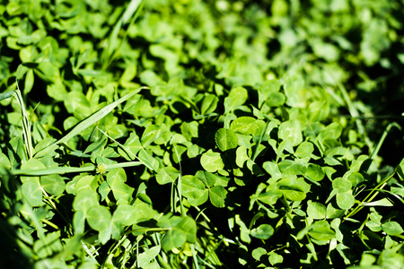 Green clover leaves on summer meadow Stock Photo