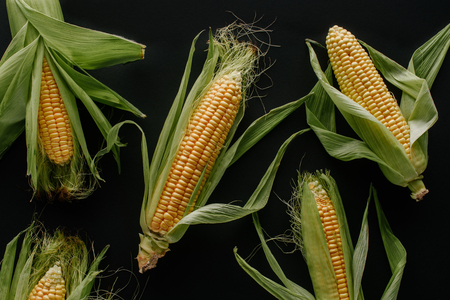 flat lay with arranged raw fresh corn cobs isolated on black Standard-Bild