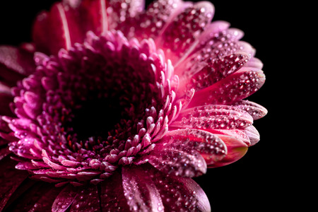 close up of gerbera flower with drops on pink petals, isolated on black Фото со стока