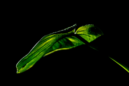 green wet tropical leaf, isolated on black Stock Photo