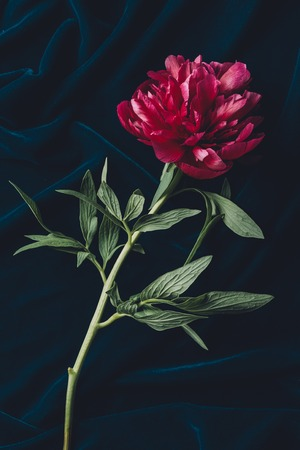 top view of one pink peony with leaves on dark cloth Stock Photo