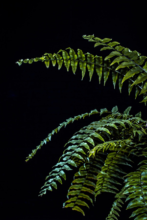 natural green fern leaves, isolated on black Stockfoto