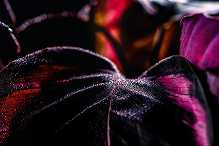 close up of calathea plant with dramatic lighting