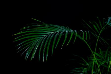 feuilles de palmier vert, isolés sur fond noir