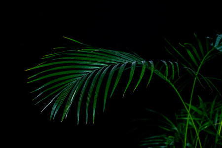 green palm leaves, isolated on black Banque d'images - 105990581