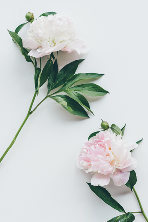 top view of light pink peony flowers with leaves on white Zdjęcie Seryjne