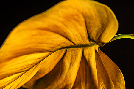 close up view of yellow leaf, isolated on black