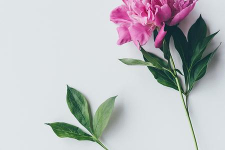 top view of pink peony flower with leaves on white Zdjęcie Seryjne