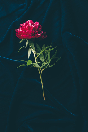 top view of one pink peony on dark cloth